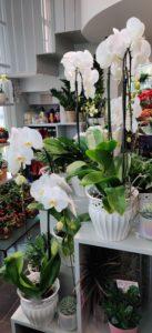 Cvetličarna Omers - orhideje1