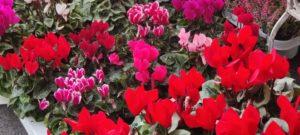 Cvetličarna Omers - cvetlice1