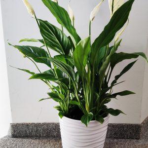 Cvetličarna Omers - Spatifil